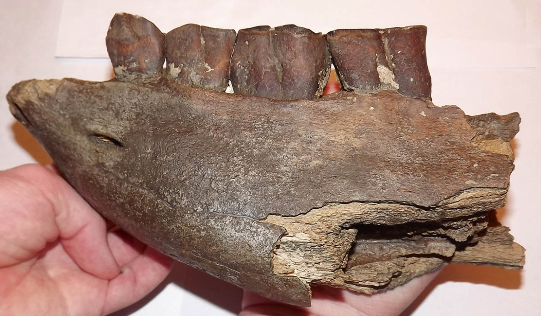 fossilhunting-coelodonta