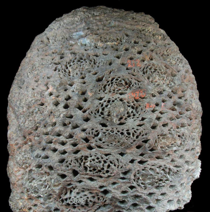 1-cycadeoidaceae-trunk