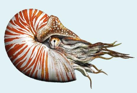 Fig. 1a. The nautilus.