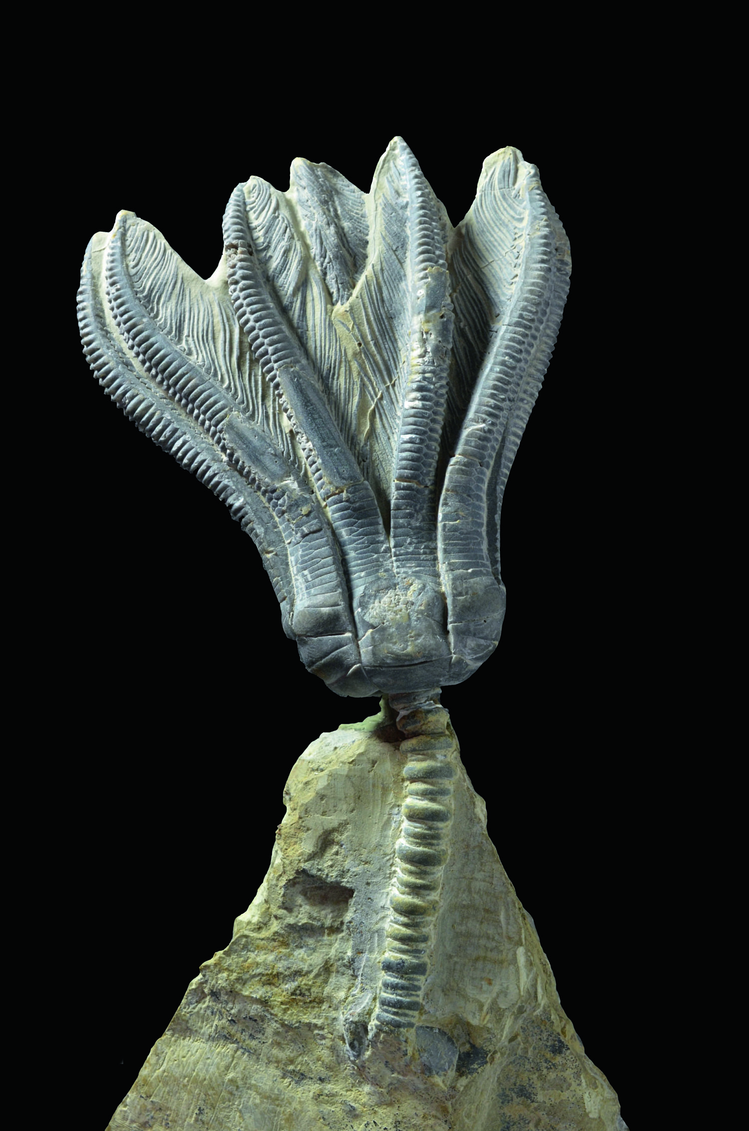Encrinus liliiformis – a crinoid from the Triassic that made a career for itself
