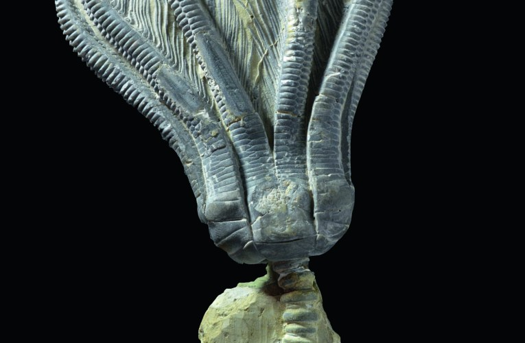 Encrinus liliiformis – a crinoid from the Triassic that made a career for itself: Germany's fossil of the year, 2019