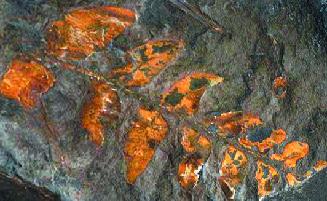 Philadelphia fossils and ferns