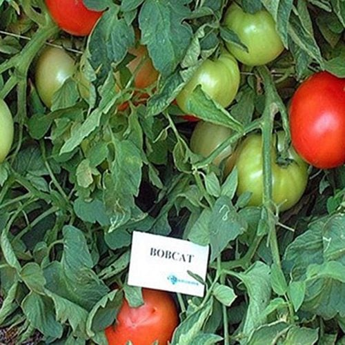 bobcat-f1 tomate determinate Syngenta