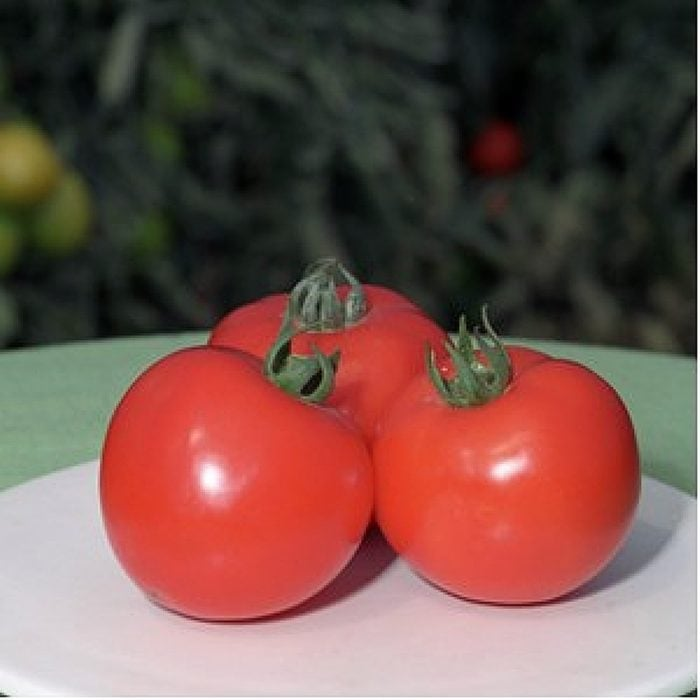 polfast-f1 tomate determinate Bejo