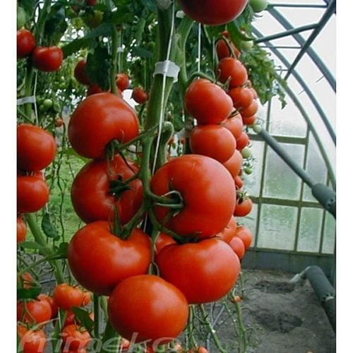 tamaris-f1 tomate nedeterminate Clause