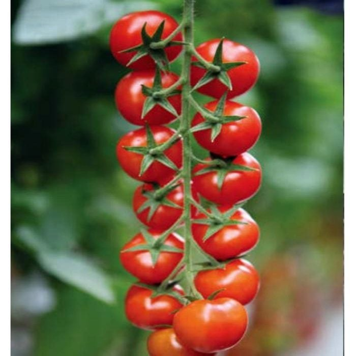 marghol-f1 tomate nedeterminate Yuksel