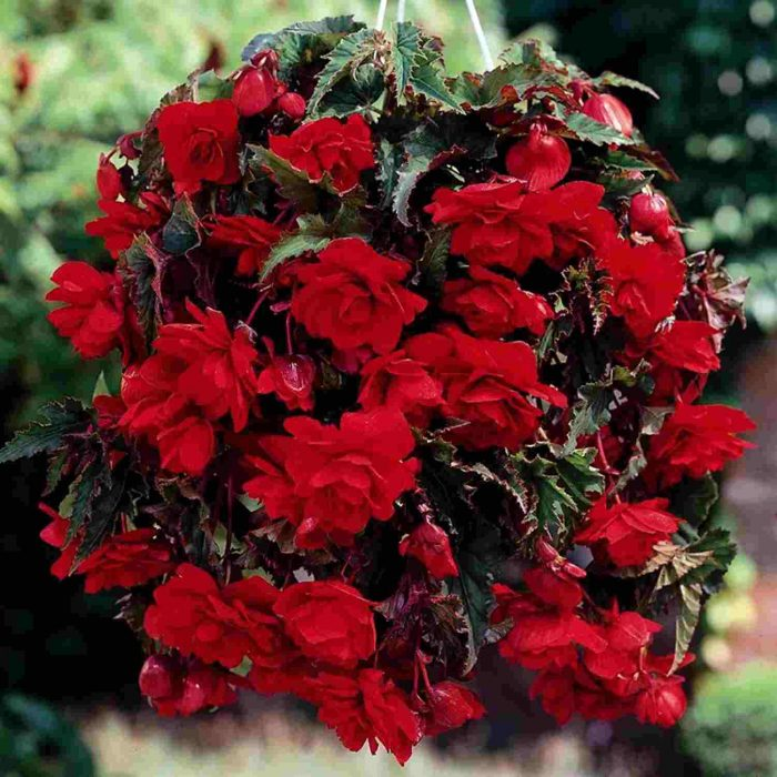 Bulbi Begonia Pendula Red