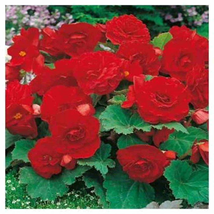 Bulbi Begonia Double Red