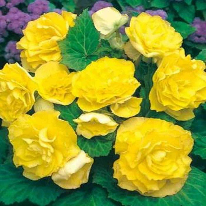 Bulbi Begonia Double Yellow