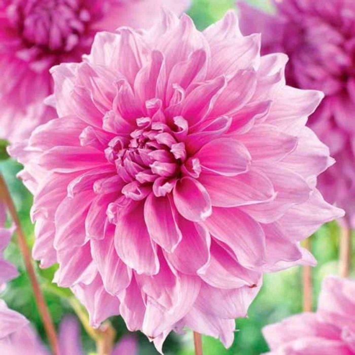 Bulbi Dahlia Lavender Perfection