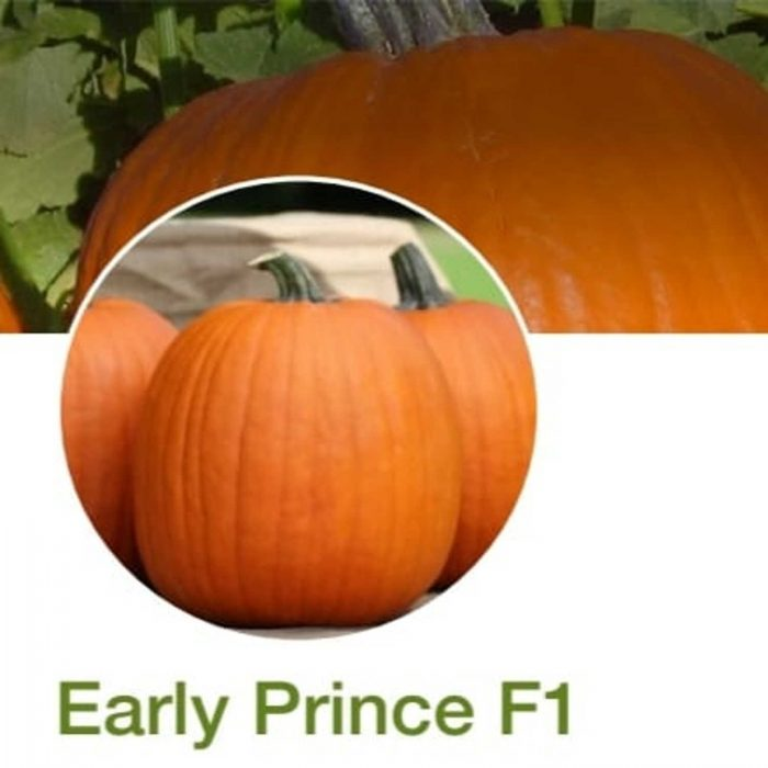 Early Prince F1 dovleac halloween syngenta