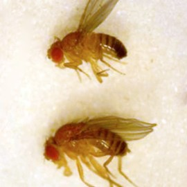 an introduction to fruit flies the berg lab lateral view of a male top and female bottom