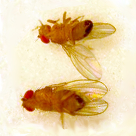 an introduction to fruit flies the berg lab ventral view of a male top and female bottom