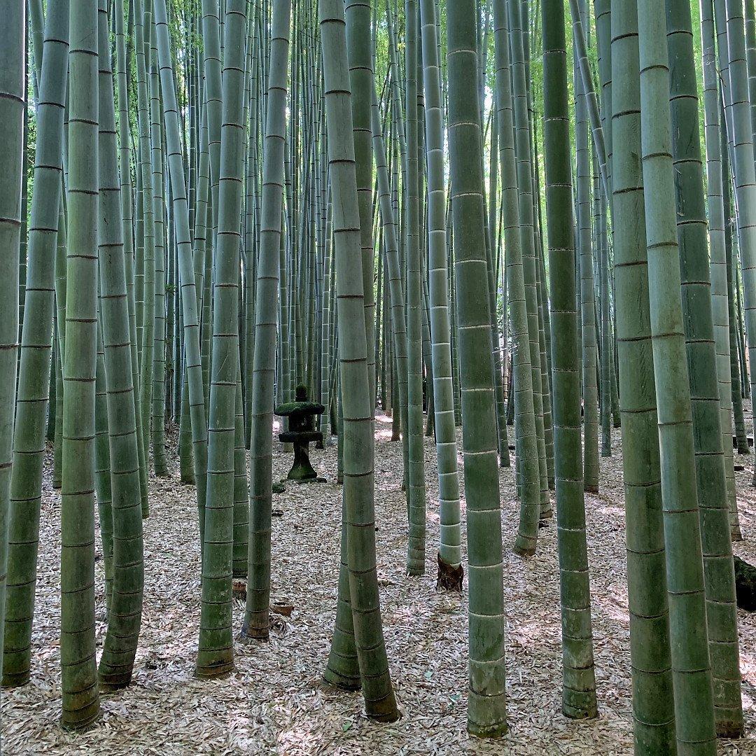 Linterna entre los tallos de bambú