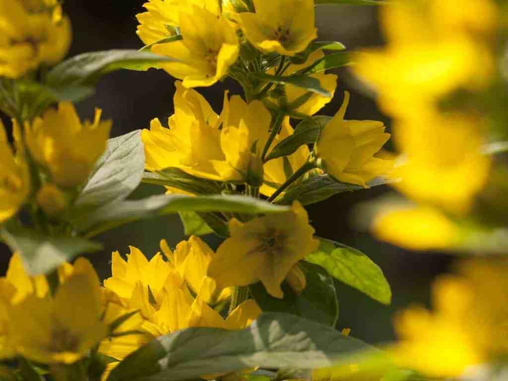 goldfelberich gelbe blume
