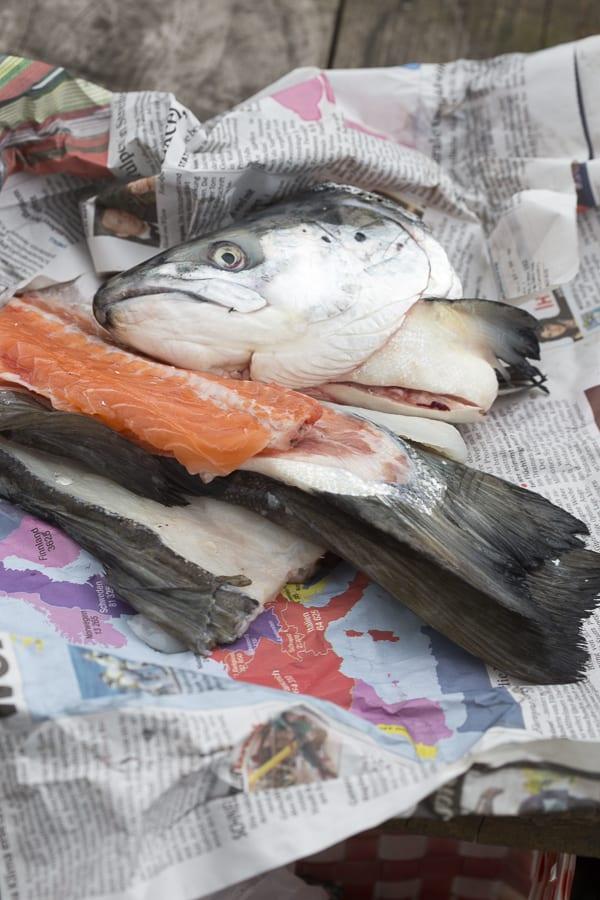 Fischabfall als Dünger für Tomaten