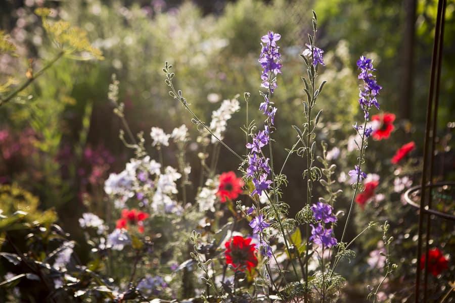 mein bunter Garten, Dahlien und Rittersporn