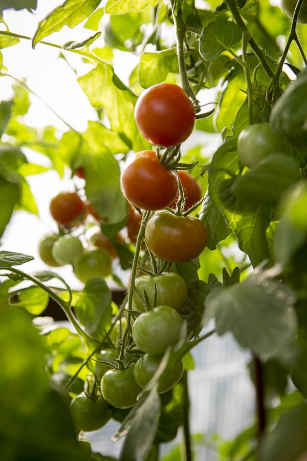 Tomaten im Tomatenhaus