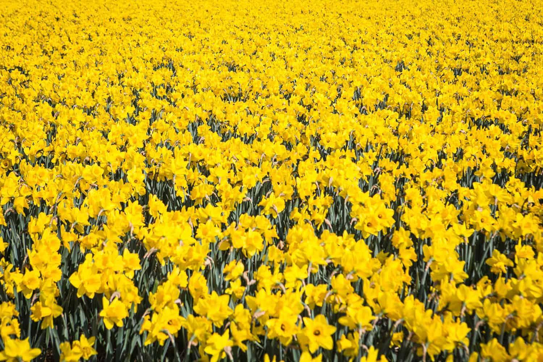 narzissenfeld tulpenparadies holland
