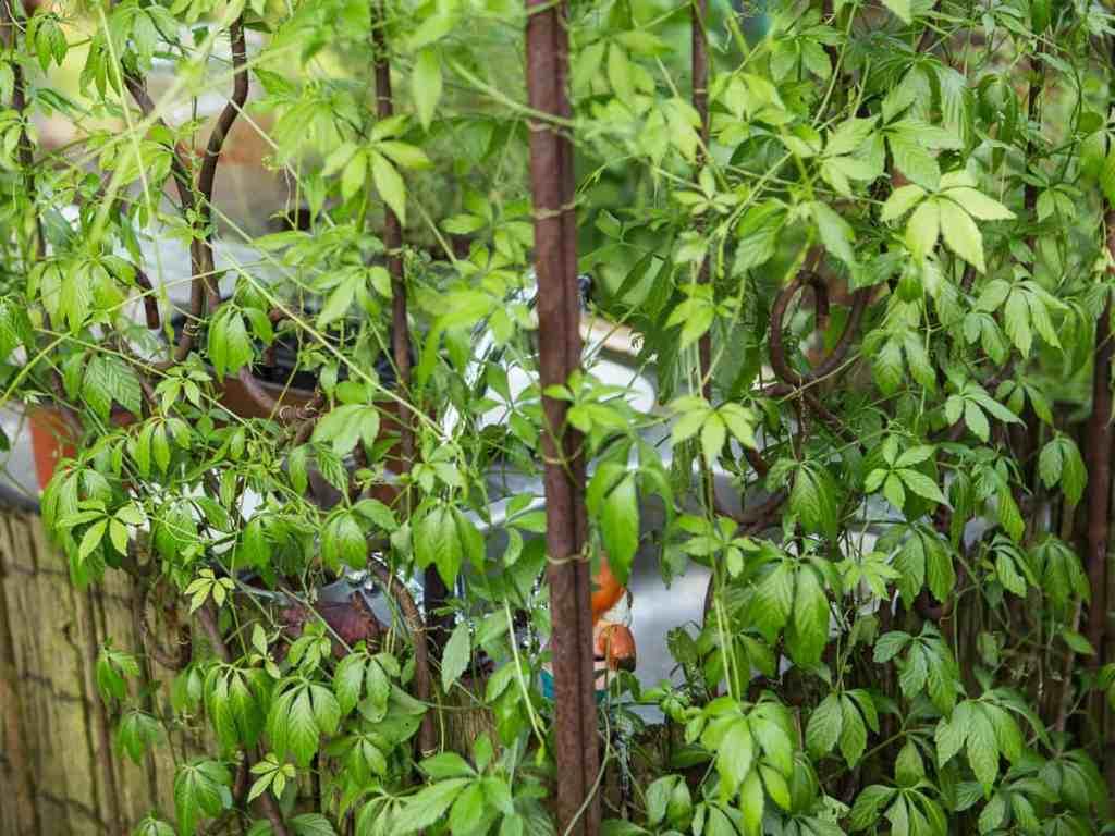 Sichtschutz im Garten rankende Pflanzen