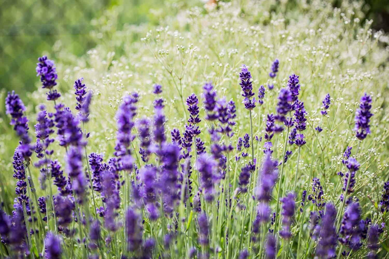 lavendel pflanzen im topf lavendel anbau und pflege plantura lavendel lavandula bild 12 sch. Black Bedroom Furniture Sets. Home Design Ideas