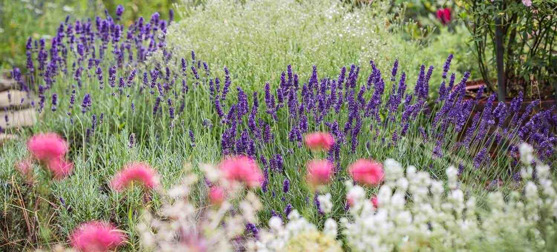 Lavendel pflegen schneiden pflanzen