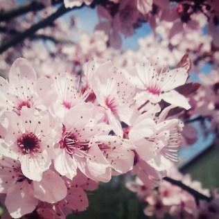 endlichFrhling die Blumen blhen Bume tragen rosa Blten ist das nicht schn newLi
