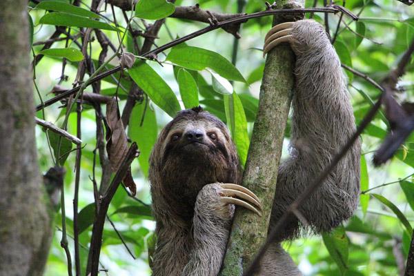 Das Faultier im Regenwald