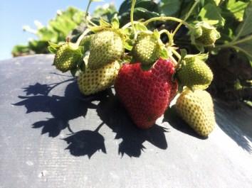 fresas strawberries