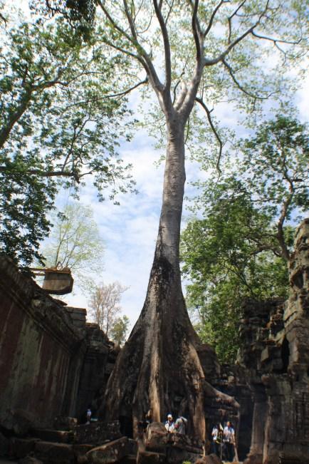 Los gigantescos arboles en las ruinas de Angkor