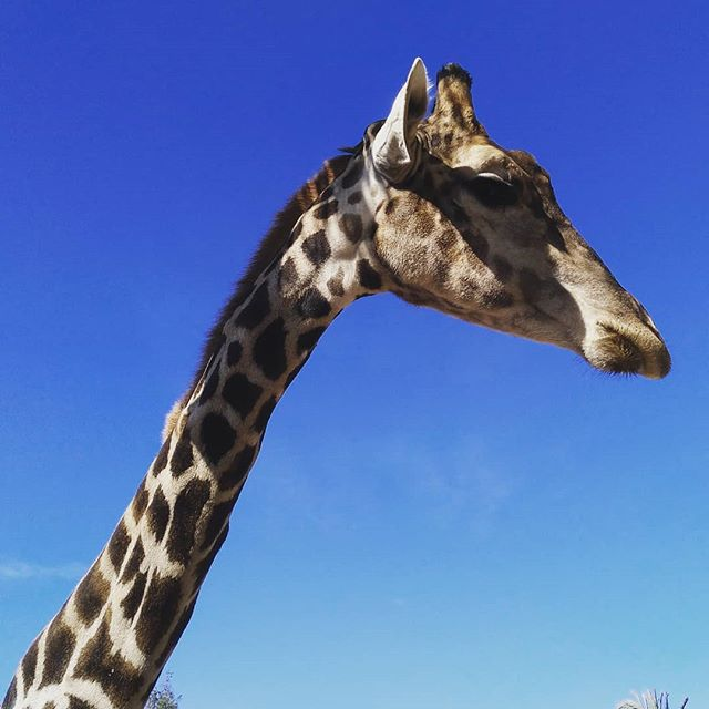 #girraffe#autohash #Elche #Elx #Spain #ComunidadValenciana #giraffe #tallest #nature #sky #outdoors #wildlife #long #high #large #mammal #funny #animal #curiosity #barbaric #cute #wild #neck - from Instagram