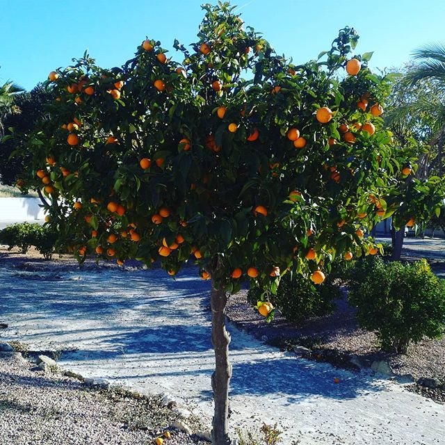 #autohash #Torrevieja #Spain #ComunidadValenciana #fruit #leaf #tree #nature #grow  #agriculture #food #foodporn #foodie #foodpicoftheday #foodpic #foodgasm #instafood #yummie #flora #landscape #branch #outdoors #farm #pasture #summer #fall #flower #crop #season #orange - from Instagram