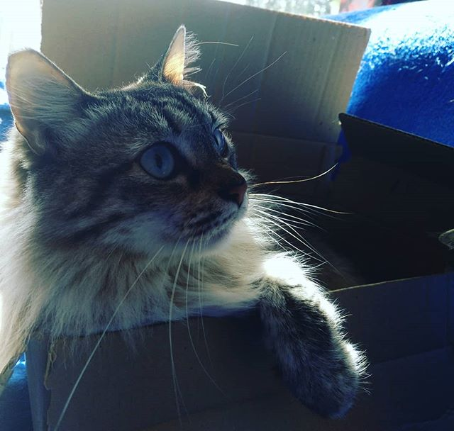 Flump's surprised she's in a cardboard box.#autohash #Torrevieja #Spain #ComunidadValenciana #cat #ilovemycat #catsagram #catstagram #kitten #portrait #mammal #pet #animal #kitten #fur #cute #eye #tabby #hair #hairstyle #instahair #hairfashion #young #little #ragdoll - from Instagram