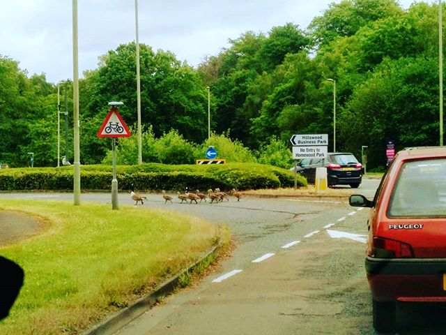 Never before has queuing traffic made me smile, until today. #canadiangeese #autohash #UnitedKingdom #England #road #carporn #instacar #cargram #tree #outdoors #vehicle #traffic #accident #environment #drive #guidance #grass #travel #traveling #visiting #instatravel #instago #danger #street #summer #nature #weather - from Instagram