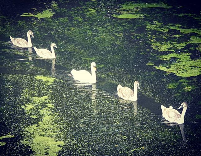#autohash #UnitedKingdom #England #blandford  #swan #pool #lake #water #nature #reflection #bird #park #river #peace #neck #outdoors #beautiful #waterfowl #swimming #swans #cygnets #summer #purity #composure - from Instagram