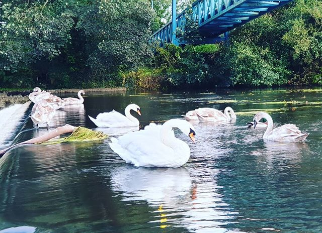 #autohash #UnitedKingdom #England #water #pool #nature #swan #river #lake #reflection #bird #outdoors #beautiful #park #swimming #wild #wildlife #animal #summer #travel #traveling #visiting #instatravel #instago #tree #stream - from Instagram