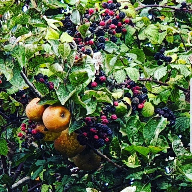 #autohash #UnitedKingdom #England #fruit #food #foodporn #foodie #foodpicoftheday #foodpic #foodgasm #instafood #yummie #leaf #crop #agriculture #grow #farm #pasture #nature #garden #tree #apple #healthy #flora #abundance #branch #season #summer #blackberry - from Instagram