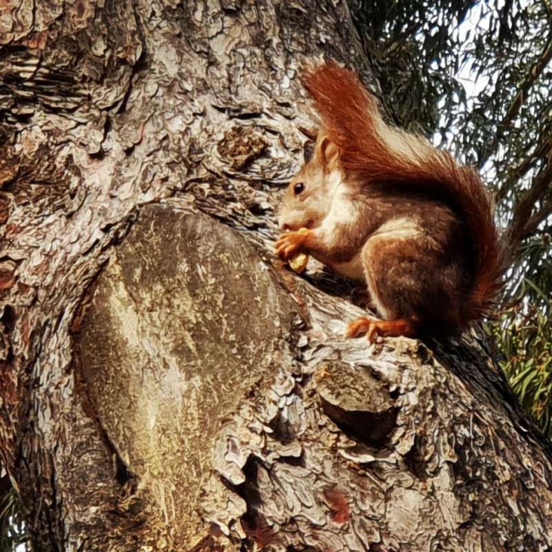 #autohash #guardamardelsegura mar #Spain #ComunidadValenciana #nature #squirrel #rodent #tree #wildlife #animal #wood #cute #mammal #bark #tail #wild #fur #grey #nut #outdoors #little #curious #downy - from Instagram
