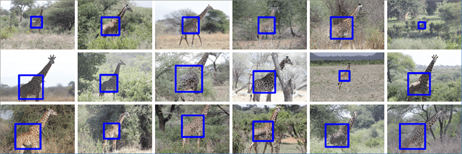 Randomly selected giraffe torso detection results. Note that even giraffes which are small in the image or giraffes which are partly occluded by bushes, are found successfully.