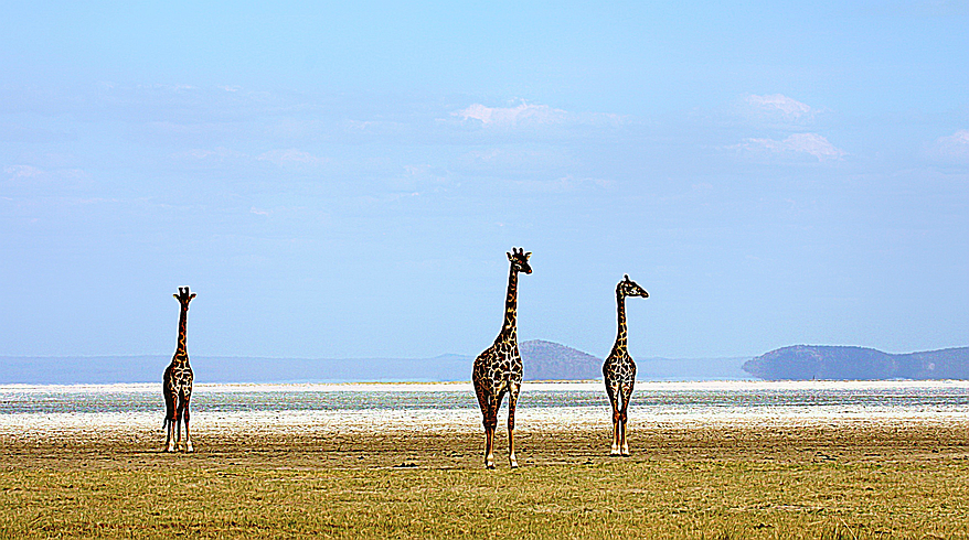 Picture of Giraffes in Tanzania, WIld Nature Institute