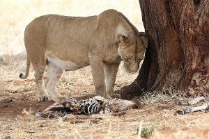 Picture of a Lioness with her meal of a zebra foal. Photo credit Wild Nature Institute.