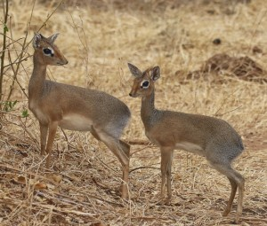 Dik-diks in Randilen WIldlife Management Area, Tanzania, East Africa. Dik-diks were among the wildlife species that benefitted from the community-based wildlife conservation area.