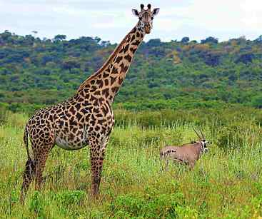 Giraffe and Oryx in Randilen WIldlife Management Area, Tanzania, East Africa. Giraffes were among the wildlife species that benefitted from the community-based wildlife conservation area.