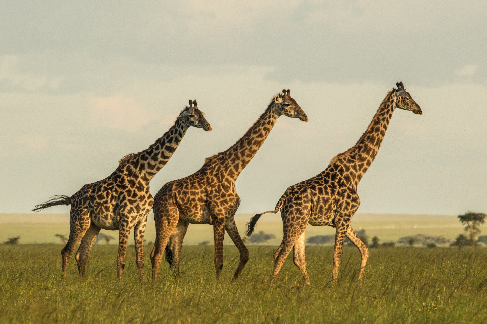 A group of adult female Masai giraffes.