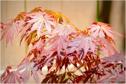 the other new Japanese maple