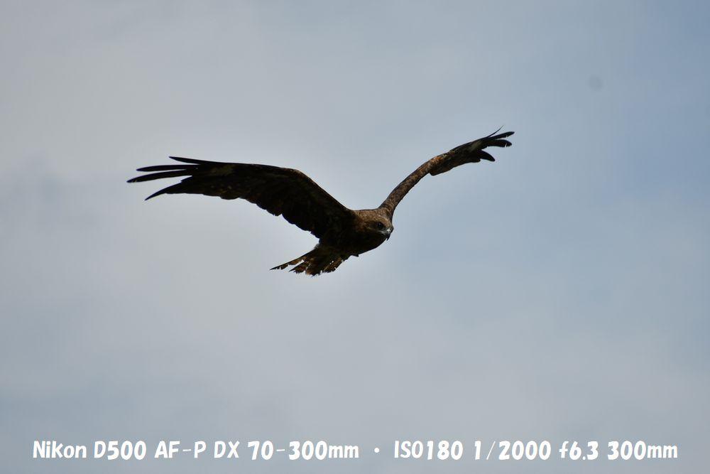 動体撮影 鳥 AF-P
