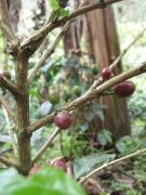 Die Kaffefrucht, hier an der Arabica-Pflanze