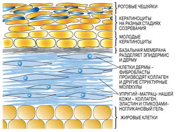 Основные слои кожи и их функции.