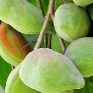 Dermatonics Natural Active Ingredient - Kakadu Plum