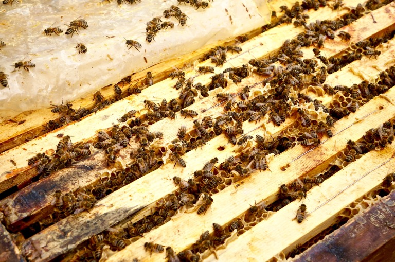 sehr aktives Bienenvolk